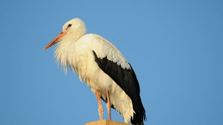 This white stork popped in for refreshments today at the Balfour pub in Woolbrook, Sidmouth. Picture