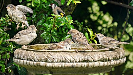 Two minutes after I filled their water bath (in Budleigh), the sparrows were there in force. Even th