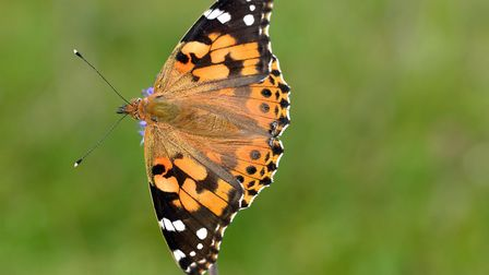 The Painted Lady butterfly. Picture: Bob Eade
