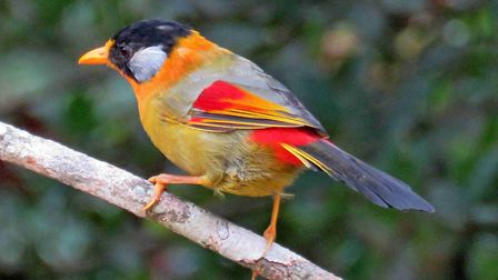A silver-eared mesia. Picture; Roger and Liz Hamling