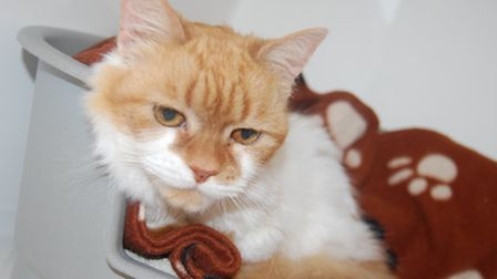 Clementine – Ginger & White Female 14yrs. Lovely older girl looking for a quiet home.