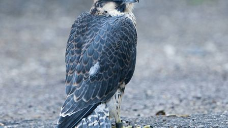 One of the cathedral peregrine chicks. Picture credit: Andy Thompson