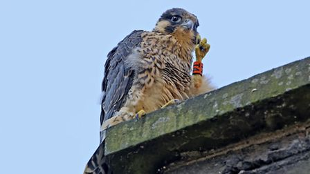 Another one of Norwich Cathedral's peregrine falcon chicks has died. Pic: Andy Thompson.