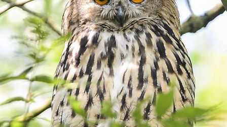 A eagle owl is on the loose around the grounds of All Saints Church in the middle of Hillington Squa