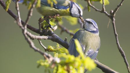 Blue tits exchanging food. Pic by Jonathan Lewis, Norfolk Wildlife Photography