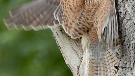 Adult kestrel dropping off food. Pic by Jonathan Lewis, Norfolk Wildlife Photography