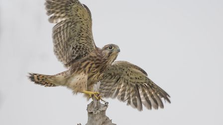 Kestrel's first flight. Pic by Jonathan Lewis, Norfolk Wildlife Photography