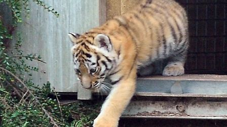Banham Zoo shows off their newest additions to the park, as yet, unnamed tiger cubs which are now kn