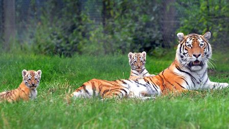 Banham Zoo's tiger cubs - and you can name the twin girls by bidding on ebay.