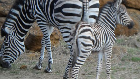 the Chapman's zebra foal is closely guarded
