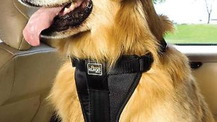 A dog in a safety harness in a car.