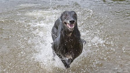 Misty. Action for Greyhounds 2014 calendar. Submitted