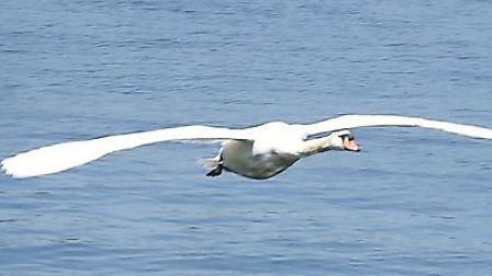 This beautiful picture of a mute swan, moments after take-off on its River Burerunway, was a sight I