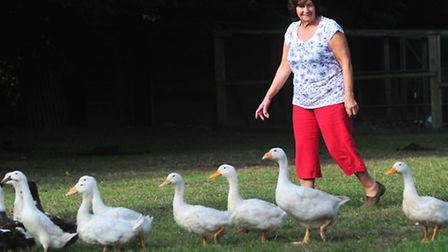 Glynis Pearson from Mutford has given a temporary home to 12 young ducks she found in the village.Sh