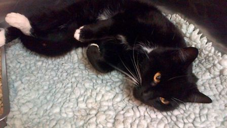 This black and white cat was found on Gorleston bypass after a road traffic accident and is now bein