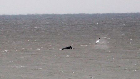A humpback whale was spotted off the Norfolk coast. Seen here off the coast at Horsey. Picture by: C
