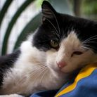 Archie – Black and White male 4yrs. Very affectionate fiv lad looking for an indoor home only.