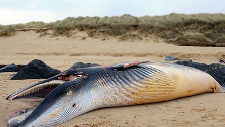 A minke whale washed up on the beach just north of Sea Palling.Picture: James Bass