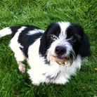 Patch – 4yr old male Terrier cross. Patch needs a patient and understanding owner who can help him l