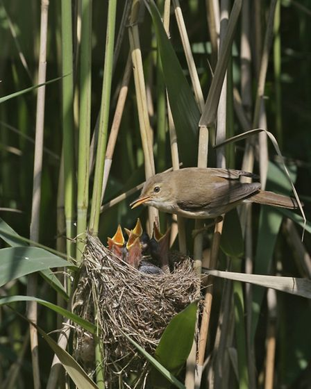 Reed warbler and chicks