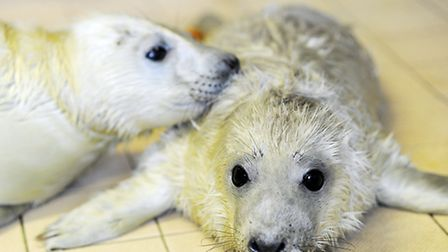 The RSPCA Centre in East Winch is currently looking after the seal pups caught up in the floods. Picture: Matthew Usher.