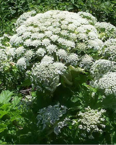 Watch out for hogweed!
