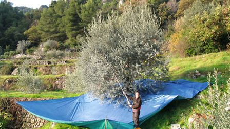 Working on the olive farm © Gerry Whitcombe-Power