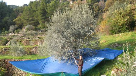 Gerry and Mark make olive oil from the olive trees on their land in Var