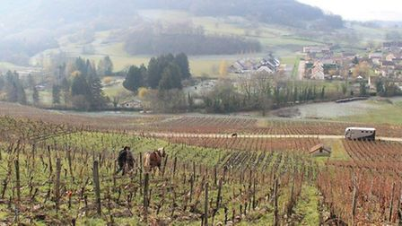 Working with horses at the Jean Bourdy vineyard in the Jura