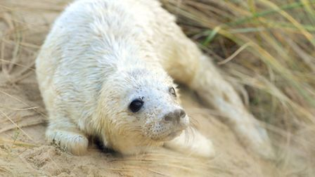 Breeding grey seals on the beach at Horsey in Norfolk.Seal pup on the dunesDecember 2011Picture: Jam