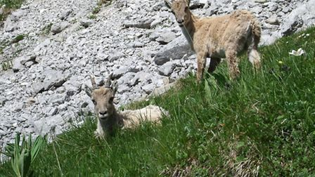 Ibex in the French Alps © Savoie-Mont-Blanc/Chabance