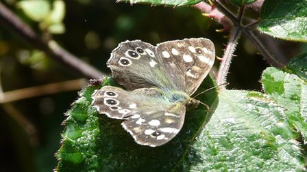 The fiercely territorial Speckled Wood butterfly