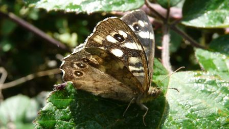 The distinctive markings of the Speckled Wood