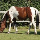 Faith after being nursed back to health by Redwings.