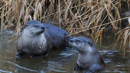 A pair of otters getting to grips with the ice | Angie Vogel, Flickr CC2.0