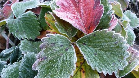Strawberry plants tinged with first frosts of autumn © Le Jardin Perdu