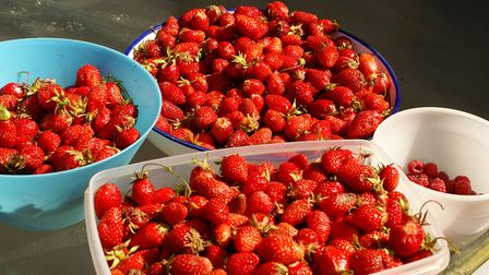 Strawberries are one of Rosie's favourite fruits that she harvests in her summer garden