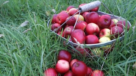 There is always an abundance of apples to be collected in autum