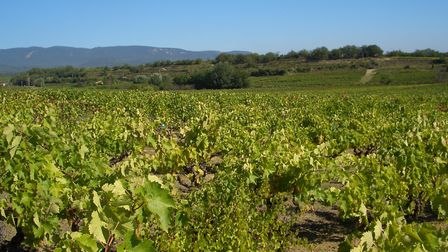 One of many vineyards in the Luberon © Allie Caulfield CC BY 2.0