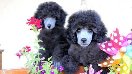 Find out why French poodles are so popular in the February 2018 issue of FRANCE Magazine © Marie Moi