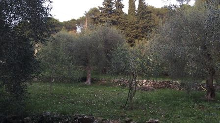 One of the olive groves at the olive farm above Cannes
