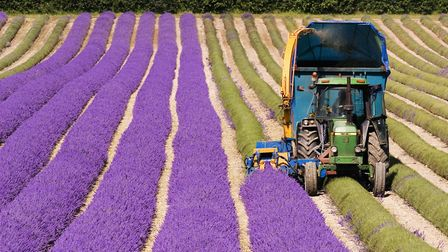 We trace the history of French lavender © Scenics/Getty Images/moodboard RF