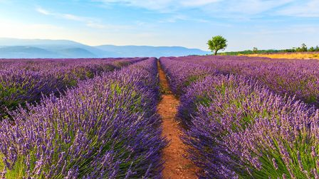 Lavender fields near Sault in Provence © Remedios / Thinkstockphotos