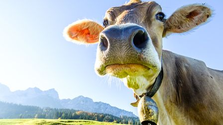Cow bells are part of Alpine tradition but can you stand the noise they make (c)FooTToo - Getty Imag