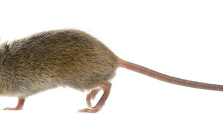 Mice are common in French homes in the countryside (c)GlobalP - Getty Images/iStockphoto