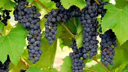 Bunches of red grapes grow on a vine (c) Elenathewise/Fotolia