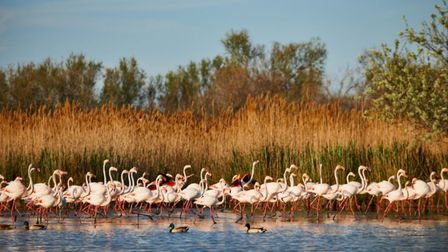 Flamingoes in Camargue copyright LuCaAr iStock GettyImages Plus