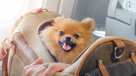 A small dog is carried in a travel bag on board a plane (c) Getty Images