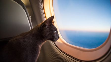 A cat flying in a plane (c) Getty Images