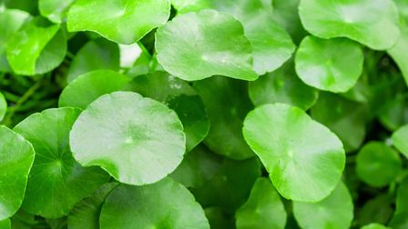 Watch out for Floating Pennywort (photo: Getty Images)